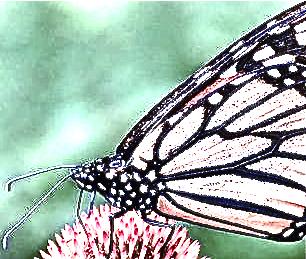 Papillon du 25novembre